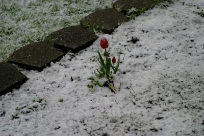 Tulipsnow