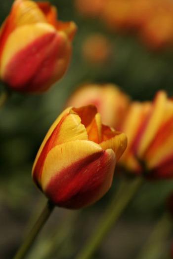 Tulip1orange