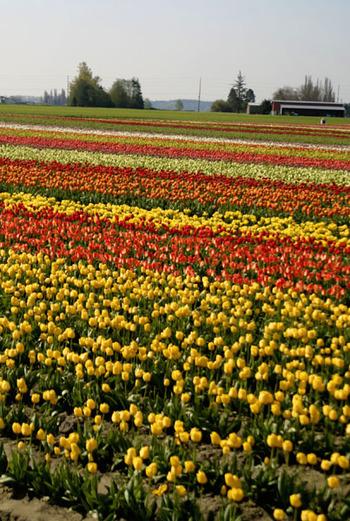 Tulipmultirows