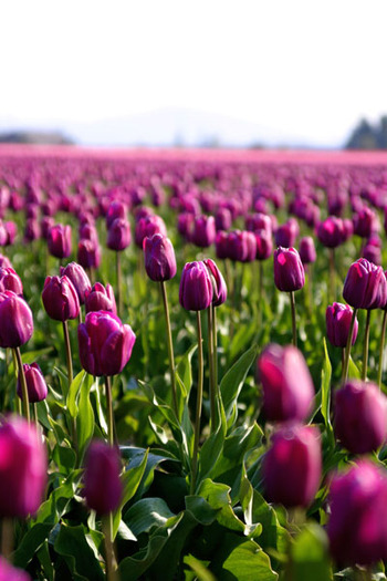 Tulippurple