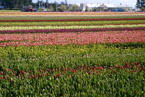 Tuliptown