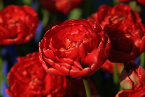 Tulipreds