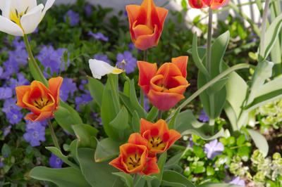 Backyard_tulips